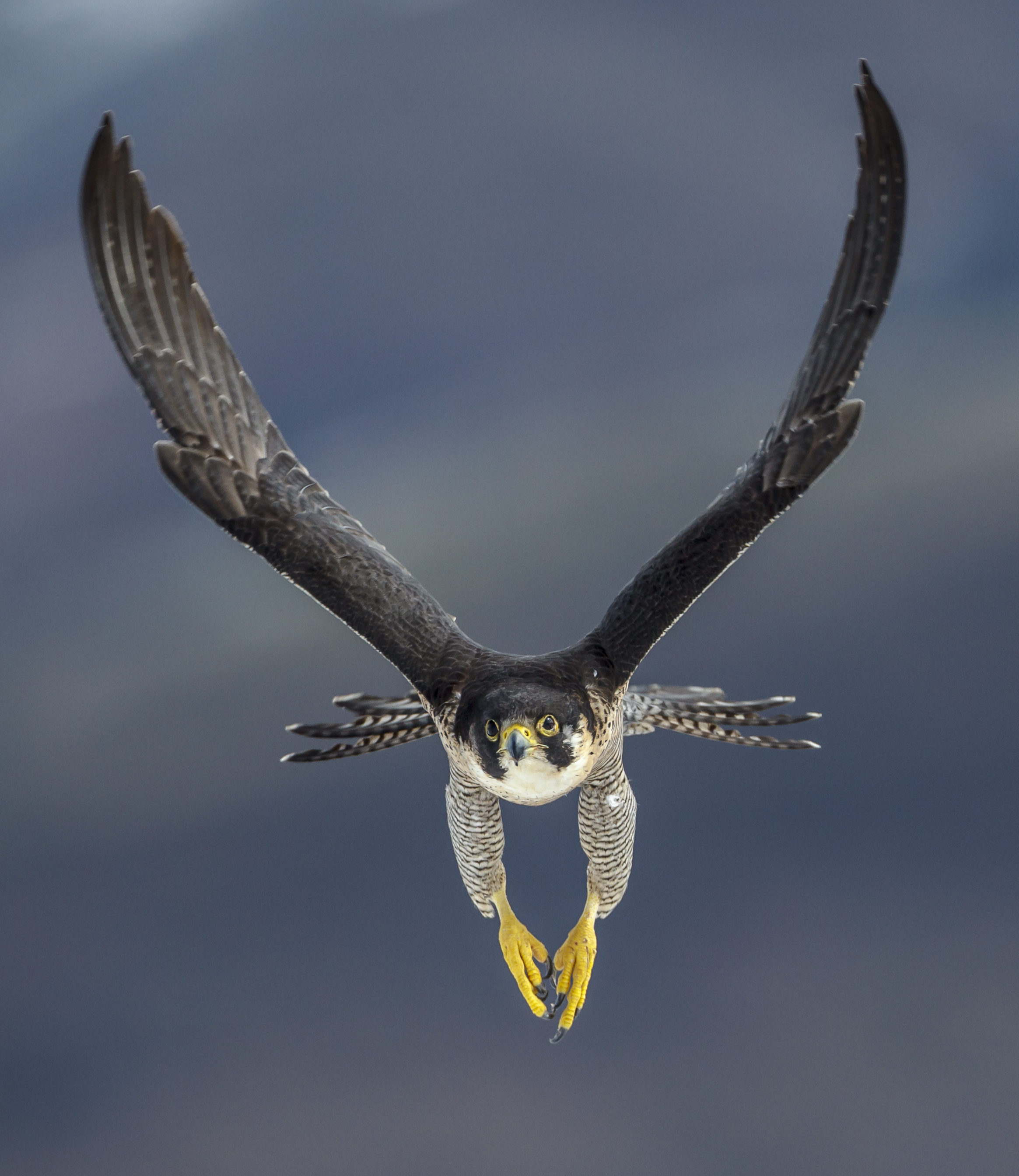 A peregrine falcon in flight frontal flies the mountains of the Cantabrian coast in Spain in search of prey
